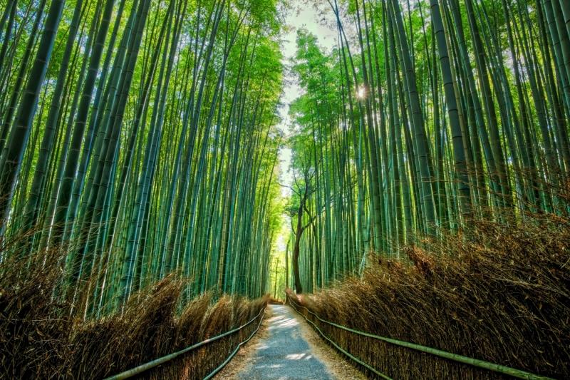 Bamboo trees tower upwards, in Arashiyama, near Kyoto, Japan.